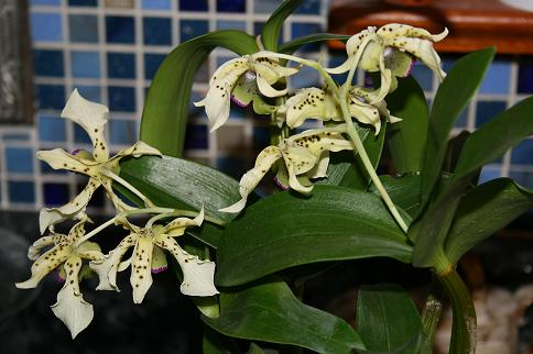 The other new orchid