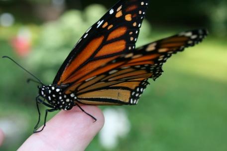 butterfly8_13 005