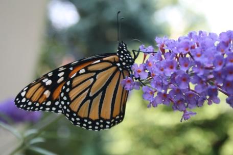 butterfly8_13 007