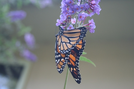 butterfly8_13 015