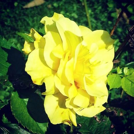 yellowrose14